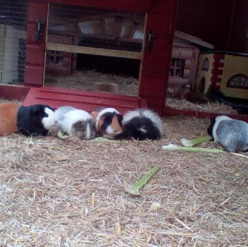 Everything Guinea Pig – Hopper Haven